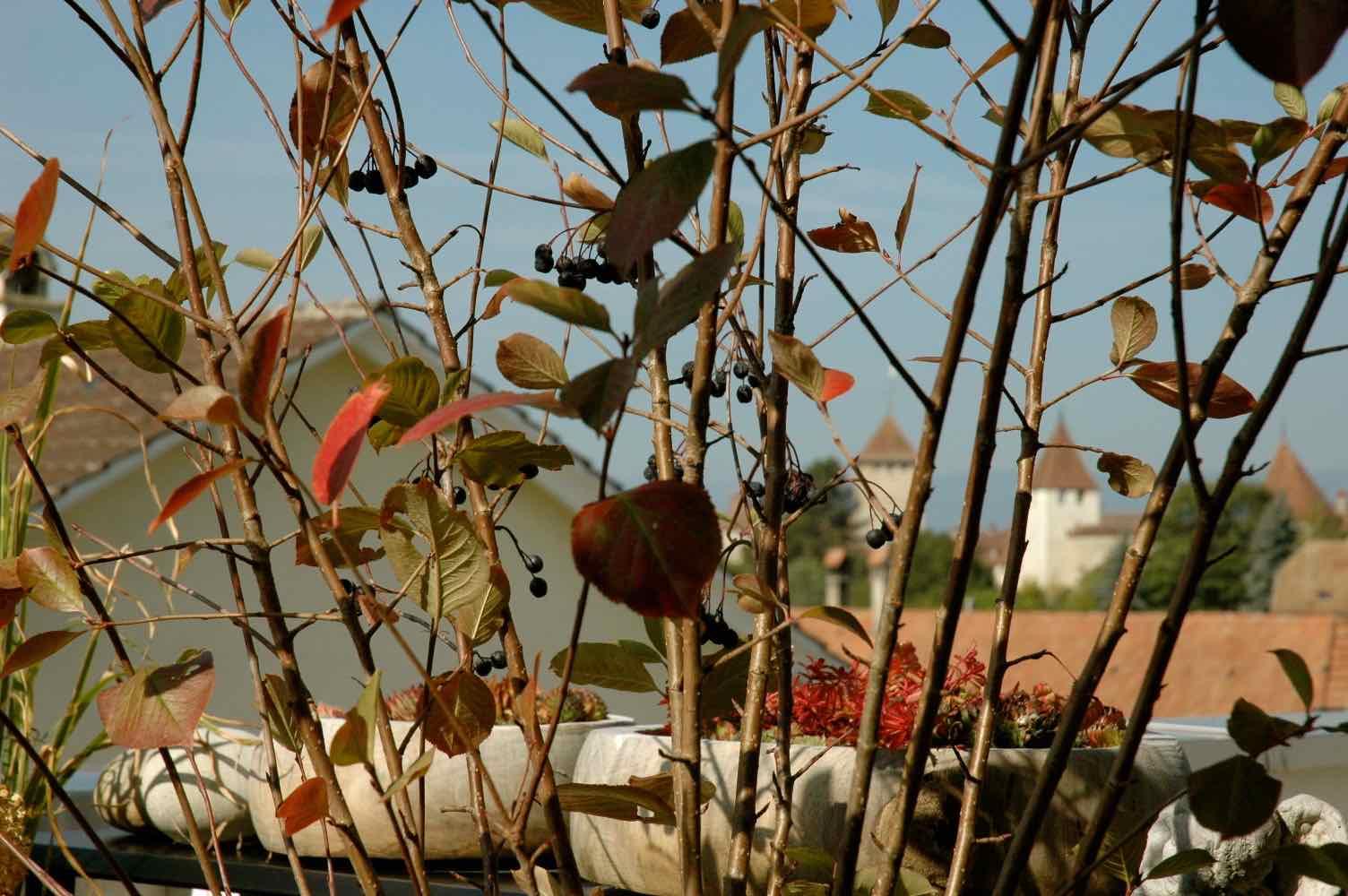 Apfelbeere Aronia ist eine tolle Kübelpflanze